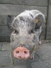 What? (Sibi) Tags: born pig hog localzoo kasteelpark