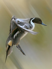 fast (HANI AL MAWASH) Tags: motion art nature flying photo duck al wings action feathers blues landing clear browns excellent incredible hani watcher grays exceptional      specanimal aplusphoto megashot   almawash mawash captureofmotionandmovementandfeatherswonderfulshot