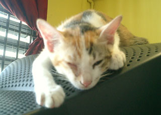 Aegean Cat Adoption