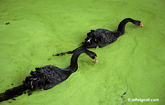 Black Swans & Algae, at Chenonceau (Jeff Wignall) Tags: france birds swan nikond70s algae loirevalley blackswan chenonceau wignall
