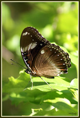 On Your Mark.....Get Set..... (fotofantasea) Tags: light fab plants brown white macro green nature butterfly insect wings bravo photographer dof bokeh australia wallart 328 photograph frame queensland soe missionbeach peopleschoice naturesfinest sonya100 auselite buzznbugz hollykempe