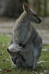 Wallabies (Halans) Tags: animals portmacquarie wallabies billabongkoalapark