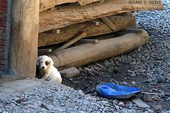 (Richard E. Ducker) Tags: dog rio puppy grande do cachorro sul canela