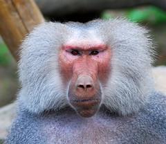 Baboon monkey face