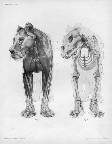 lion - anterior anatomical view