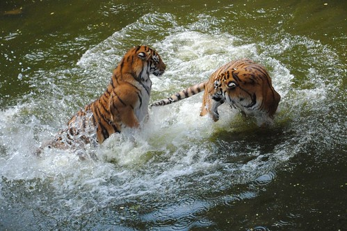 Tigers Play Fighting in Water 5 by Abysim, on Flickr