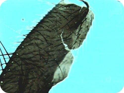 fly leg