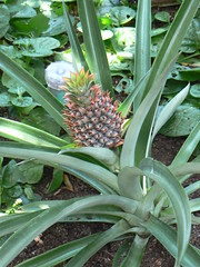 Pineapple at US Botanic Garden