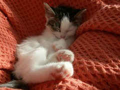 Kaylee sleeping (Mandy Verburg) Tags: pet animal female cat kitten kat feline pussy kitty ek huisdier dier pussycat poes kaylee katachtige cyper thebiggestgroup cc200 cc100 kissablekat mandyarjan pet100