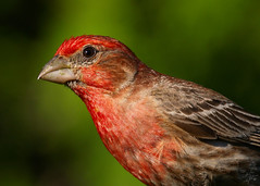 House Finch / Roselin Familier - by Eric Bégin