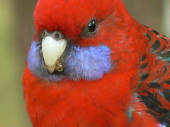 Real Close-Up of Crimson Rosella! (ianmichaelthomas) Tags: friends red birds colorful dynamic bright vibrant vivid parrot victoria brilliant parrots elegans evocative crimsonrosella rosellas platycercus scintillating australiannativebirds australia wildlifeofaustralia animalcraze worldofanimals auselite healesville flickrlovers vosplusbellesphotos flickrsbestcreatures