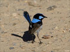 Superb Fairy-wren (teejaybee) Tags: blue bird wren fairywren superbfairywren maluruscyaneus brunswickheads specnature baabshots