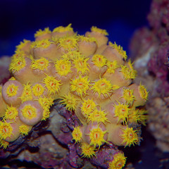 kizkiz orange sun coral (Paul J. Thompson) Tags: orange coral aquarium reef lps tubastrea suncoral kizkiz