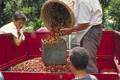4008 (kaffeepur.ch) Tags: costa coffee america de cafe flora guatemala flor kaffee rica gourmet espresso elsalvador santaana anbau cafetal imagesofelsalvador elpulgarcitodeamerica kaffeeplantagen kaffeekirschen plücker kaffeepur elpulgarcito