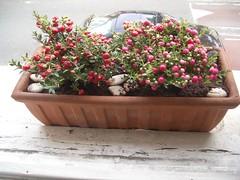 windowbox  berries