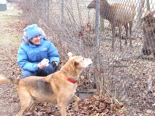 Jolly barks at an elk