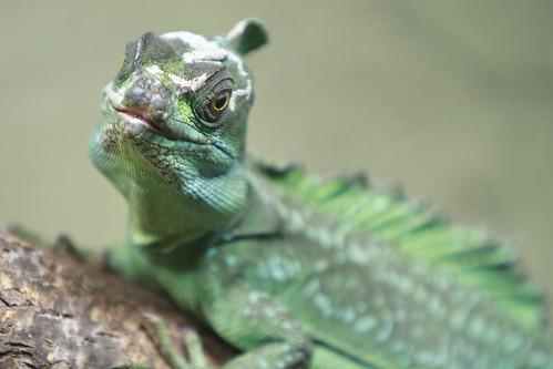 Reptilia - Plumed Basilisk
