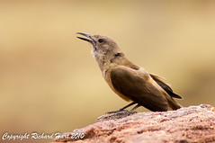 Sandstone Shrike-thrush (SillyOldBugger (in and out of internet range)) Tags: bird australia aves queensland avian colluricincla shrikethrush colluricinclawoodwardi sandstoneshrikethrush lawnhillnationalpark boodjamullanationalpark wildbirdaustralia
