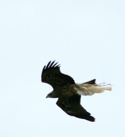 Black Kite with Plastic bag 19Jun07 Nandi Hills