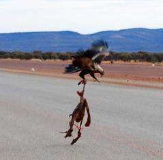 Mine mine (melskyw) Tags: bird fly nikon eagle eat meal roadkill westernaustralia murchison wedgie savage wedgetailedeagle d80