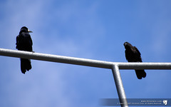 """""""I don't like that glint in your eye."""" (thinctanc) Tags: blue summer two sky white black birds clouds lights motorway feathers clear perch perched crows cirrus wary beaks whispy rooks perching"""