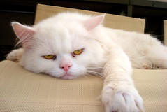 Sunday morning (5988 Trillions de Tonnes) Tags: sunday bored persiancat fbook 2549faves 7knelas
