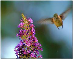 You Staring at me? (Carplips) Tags: flower ilovenature eyes hummingbird buddleia feather stare butterflybush birdwatchers aplusphoto avianexcellence