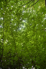 leaf (Hossein Shams) Tags: light green leaf    golestaneh hosseinshams