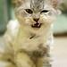 ネコ:Angry Face