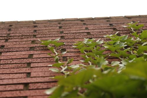 Ivy Climbing a Red Brick Wall