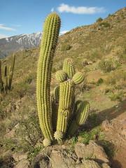 Cactus cabesa