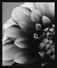 No colours needed (Kirsten M Lentoft) Tags: dahlia bw flower macro momse2600 isawyoufirst thegoldenmermaid betterthangood theperfectphotographer kirstenmlentoft
