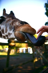 tongue4 (perhapsiam) Tags: color animal tongue hair fur nose zoo james newjersey hand fingers nj whiskers spots lloyd giraffe feed animalkingdom snout nostrils
