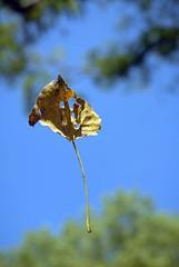 suspended (Shoeless Joe/64) Tags: blue sky tree green yellow arlington leaf texas web wetlands trinityriver riverlegacy supershot trinityriverbasin photofaceoffwinner pfogold