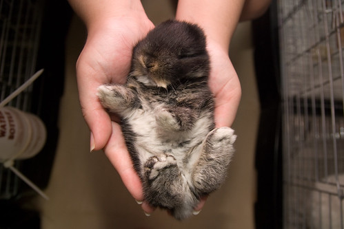 a black otter holland lop baby