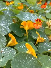 Nasturtium rain drops