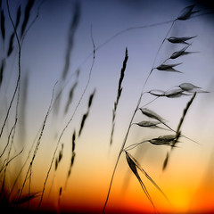 Grasses (una cierta mirada) Tags: blue sunset red sky orange 6 nature yellow interestingness silhouettes grasses 6ininterestingnesson20101028
