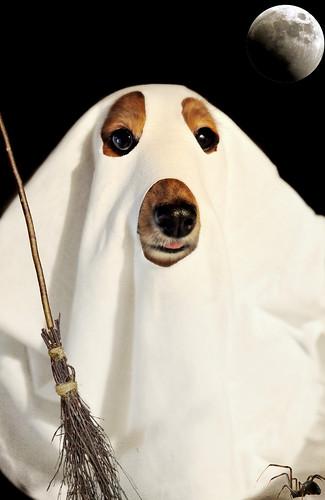 Halloweener dog