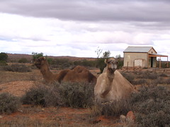 camel -silverton (Kym Baker) Tags: silverton camels brokenhill