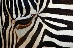 Zebra Squared (tammyjq41) Tags: bravo interestingness1 northcarolina zebra supershot lazy5ranch abigfave 2oo7 anawesomeshot impressedbeauty diamondclassphotographer