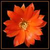 LOBIVIA (fabiogis50) Tags: flowers orange flower closeup canon visualarts crop fiori soe lightpainter excellence onblack naturesfinest fromatoz instantfave a flowerotica fineartphotos mywinner abigfave anythingyoulike flickrgold worldbest diamondclassphotographer ysplix amazingamateur freenature theunforgettablepictures ultimategold diamondstars flickrsspecial ortobotanicodipisa ~vivid~ brilliant~eye~jewels ~vividmasters~ macromarvels dazzlingshots goldstaraward tup2 flickrestrellas funfanphotos wonderfulworldofflowers thebestofimagesonwhiteblackblue 100commentgroup naturescreations floralfantasia