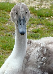 The goofy one (Missy2004) Tags: tag3 taggedout tag2 tag1 cygnet newforest explored hatchettspond naturewatcher