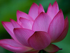 Macro image (Giovanni88Ant) Tags: pink summer flower macro bravo lotus naturesfinest infinestyle lightstylus lotusf