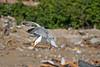 Cobra Herring Gull (Tony's Outdoors) Tags: ontario canada bird canon300d cottage dump mountainlake minden herringgull canonextenderef14xii canonef70200mmf4lusm mindenhills ©2007tonybursey
