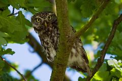 Adelr_20070630_135-Edit (reneadelerhof) Tags: owl littleowl atheneathene