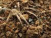 Araña camuflada (AniSuperNova83) Tags: brown animal spider cafe tarantula araña tierra supernova83
