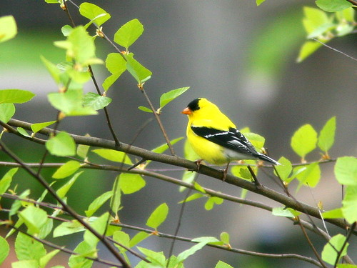 American Goldfinch 20100515