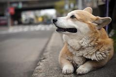 [フリー画像] 動物, 哺乳類, イヌ科, 犬・イヌ, ウェルシュ・コーギー・ペンブローク, 201005201100