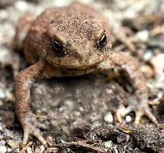 Young toad (Trevor Jolley) Tags: toad canon7d