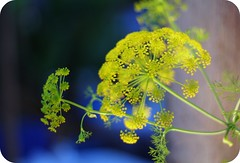 Dill in the evening light (Dada Mar) Tags: blue flower yellow dill evening explore